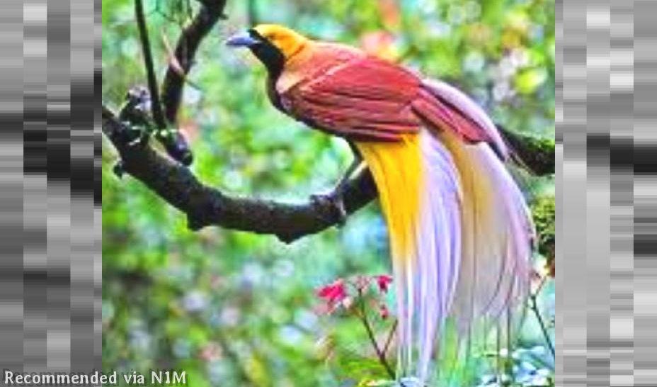Bird of Paradise Theme